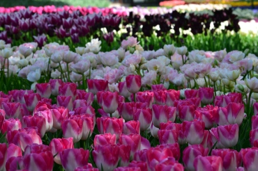 The pearl one in the middle was my absolute favourite tulip