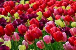 Colourfultulips