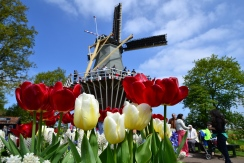 Windmillwithtulips