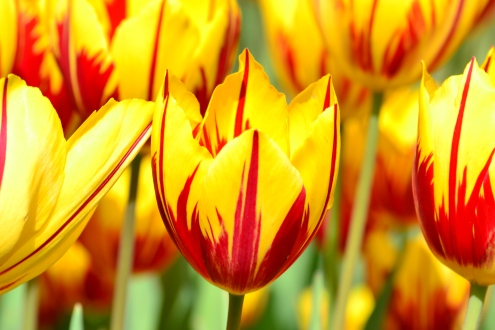 Yellowandredtulip