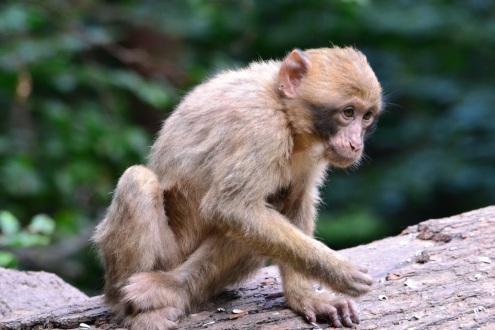 Baby monkey (not riding backwards on a pig)