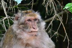 Monkey pondering his future