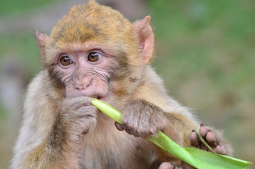 Baby monkey eating corn leaf
