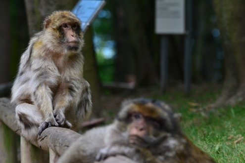 It's a tough life being a monkey getting fed all day