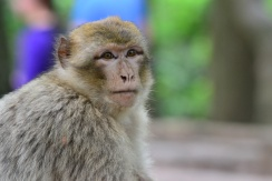 Adolescent monkey