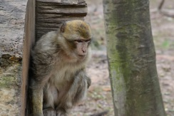 Adolescent monkey playing hide and seek