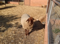 A Majorcan sheep. Hurrow