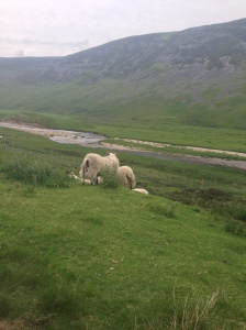 Sheep just casually chilling on the side of the road