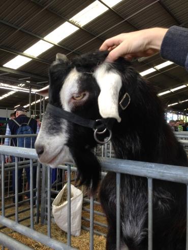 Goat enjoying pats